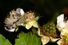Gemeine Skorpionsfliege (Männchen) (Panorpa communis)