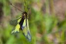 Libellen-Schmetterlingshaft (Libelloides coccajus - Weibchen)