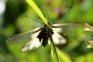 Libellen-Schmetterlingshaft (Libelloides coccajus)