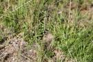 Langfühlerige Schmetterlingshaft (Libelloides longicornis)