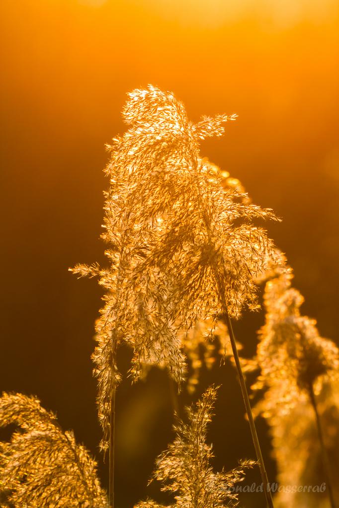 Schilfrohr in der Abendsonne
