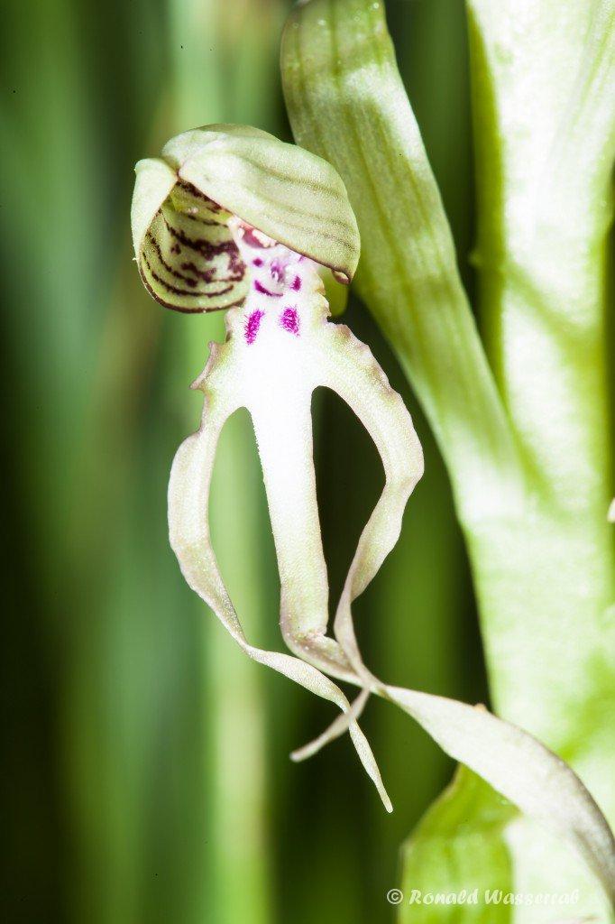 Bocksriemenzunge (Himantoglossum hircinum) auf der Orchideenwiese Istein