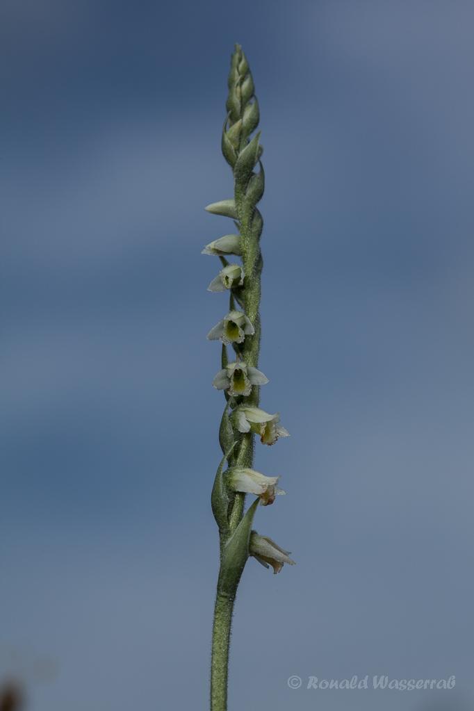 Herbst-Drehwurz (Spiranthes spiralis)rai
