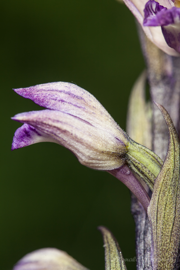 Violetter Dingel ( Limodorum abortivum)