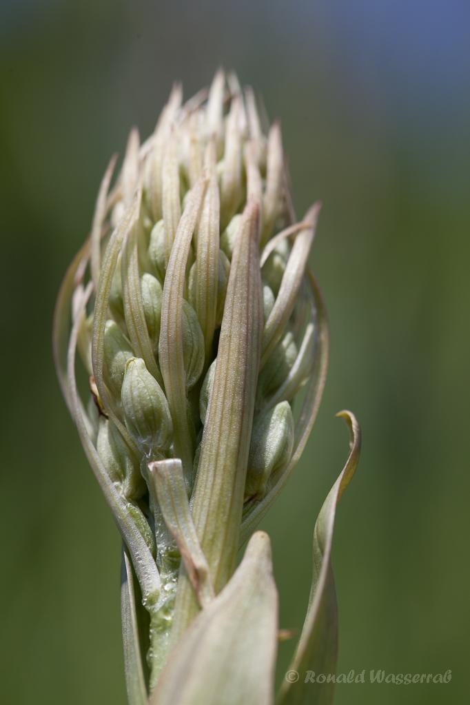 Bocksriemenzunge (Himantoglossum hircinum)