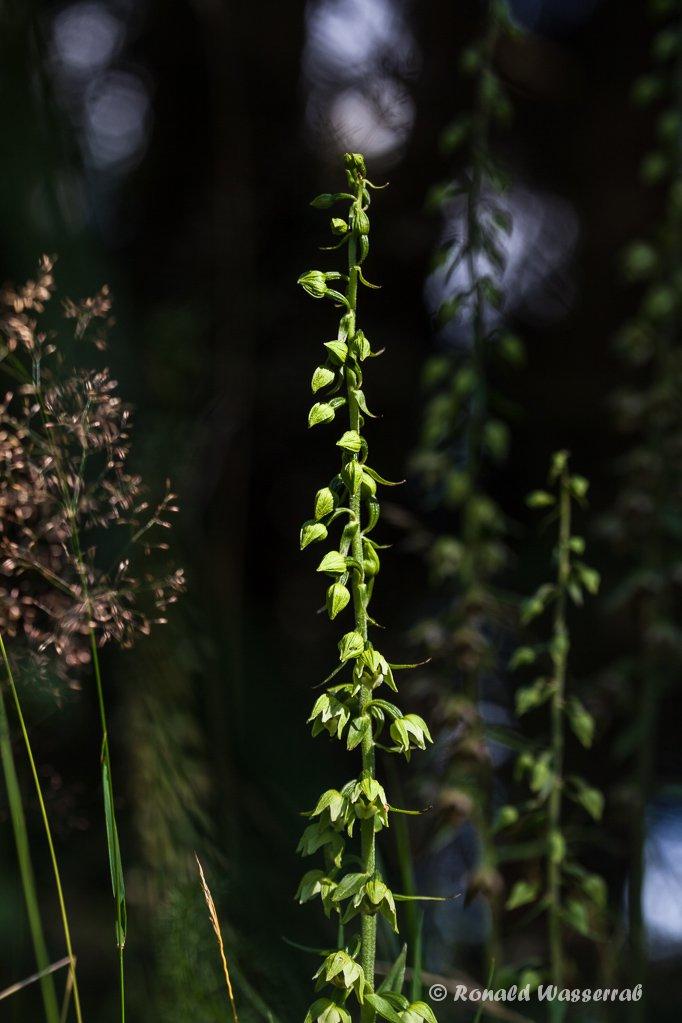 Mehrere Pflanzen der Breitblättrigen Stendelwurz (Epipactis helleborine)