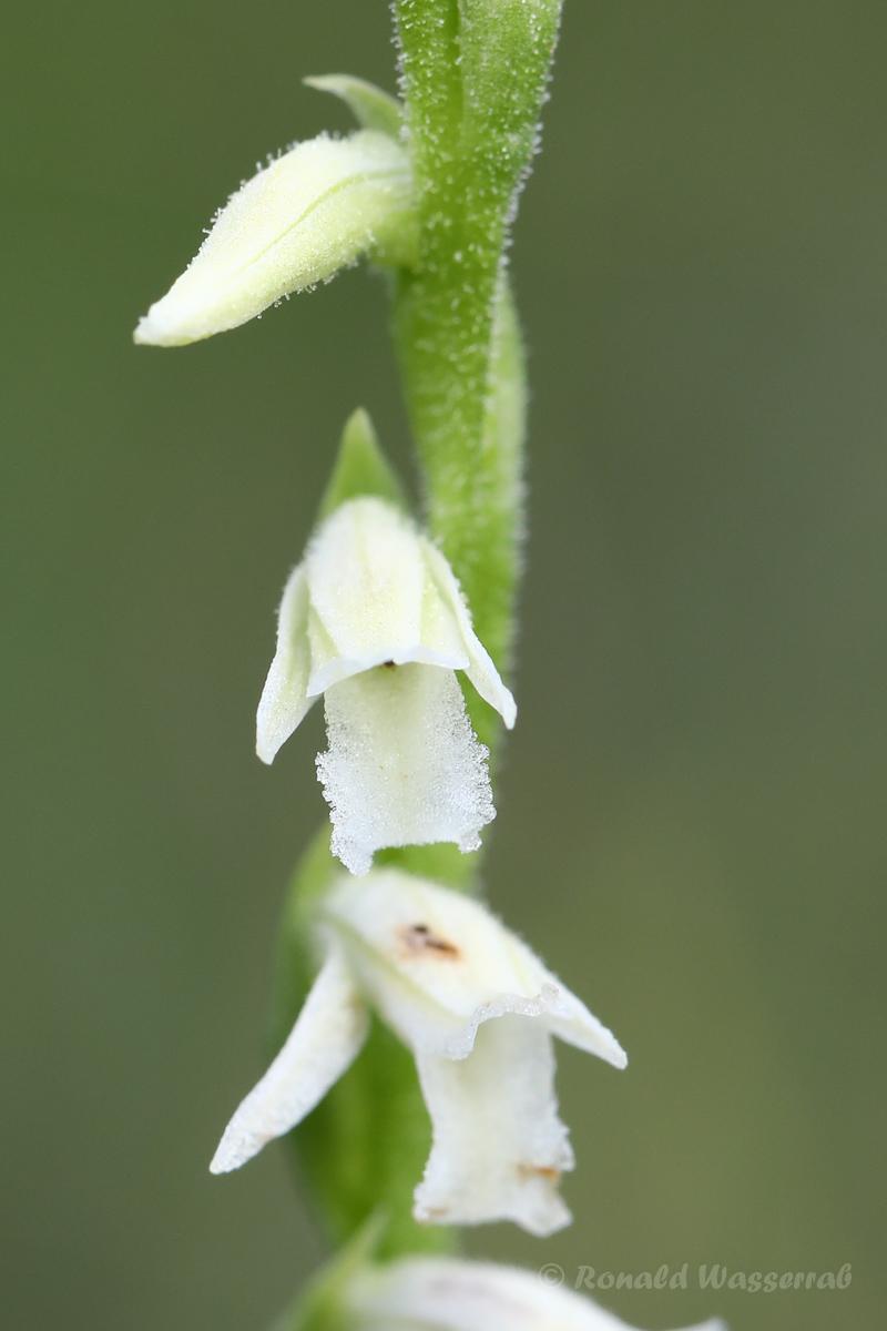 Sommer-Drehwurz (Spiranthes aestivalis)