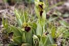 Große Spinnen-Ragwurz (Ophrys sphegodes)