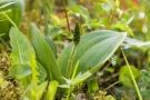 Großes Zweiblatt (Listera oeiblatvata)