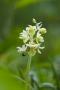Blasses Knabenkraut (Orchis pallens)