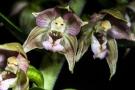 Blüten der Breitblättrigen Stendelwurz (Epipactis helleborine) im Tiefenhäuserner Moor