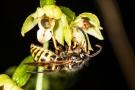 Breitblättrige Stendelwurz (Epipactis helleborine) mit Wespe