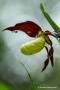 Gelber Frauenschuh (Cypripedium calceolus) mit Spinne im NSG-Schopfeln-Rehletal