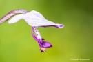 Helm Knabenkraut auf der Orchideenwiese Istein