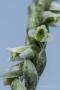 Blüte der Herbst-Drehwurz (Spiranthes spiralis)