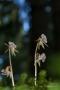 Blattloser Widerbart (Epipogium aphyllum)