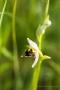 Seltsame Bienen-Ragwurz (Ophrys apifera var. curviflora)