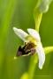 Seltsame Bienen-Ragwurz (Ophrys apifera)
