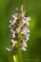 Fleischfarbenes Knabenkraut (Dactylorhiza incarnata)