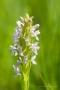 FleFleischfarbenes Knabenkraut (Dactylorhiza incarnata)