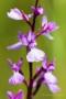Sumpf-Knabenkraut (Anacamptis palustris)