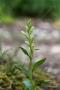 Bleiches Bleiches Waldvögelein (Cephalanthera damasonium)