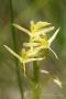Torf-Glanzkraut (Liparis loeselii)