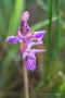 Traunsteiners Knabenkraut (Dactylorhiza traunsteineri)
