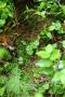 Kleines Zweiblatt (Listera cordata, Syn.: Neottia cordata)