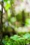 Kleines Zweiblatt Kleines Zweiblatt (Listera cordata, Syn.: Neottia cordata) (Stacking-Aufnahme)