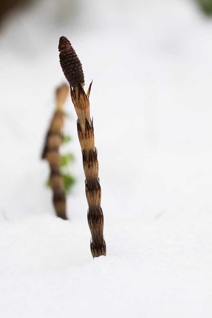Schachtelhalm (Equisetum) im Schnee