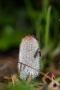 Hasenpfote (Hasen-Tintling) - Coprinopsis lagopus