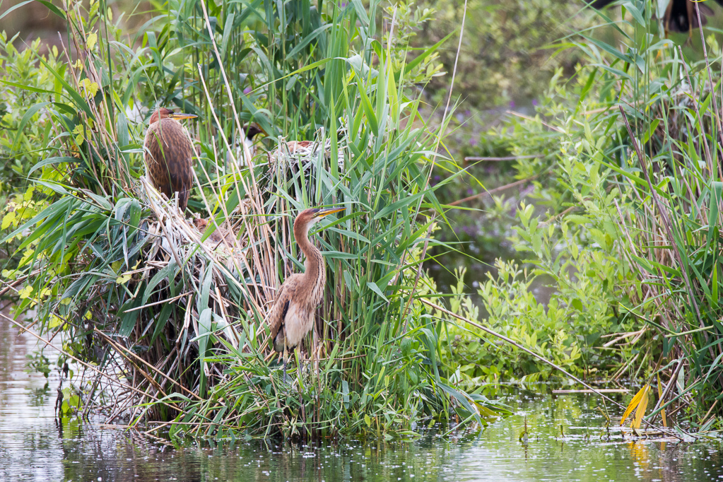 Die Küken erkunden die Nestumgebung in der Reiherkolonie