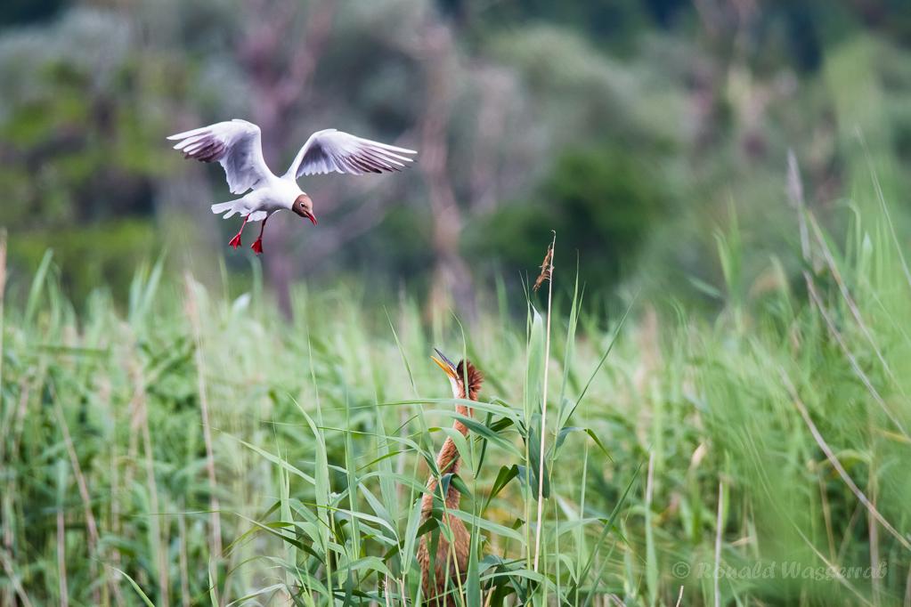 Lachmöwe provoziert jungen Purpurreiher