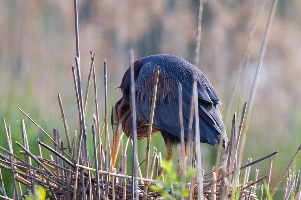 Purpurreiher im Nest