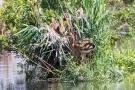 Am Purpurreiher-Nest