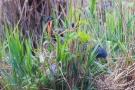 Purpurreiher mit Küken im Nest