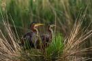 Purpurreiher-Paar im Nest