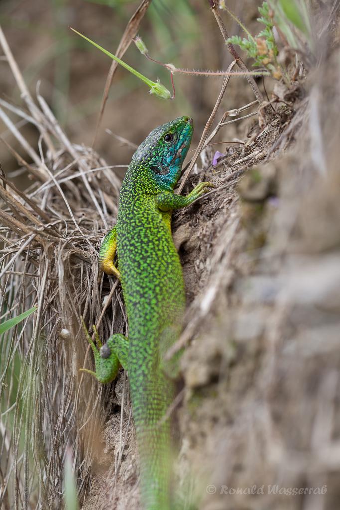 Smaragdeidechse (Lacerta bilineata)