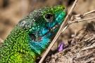 Smaragdeidechse (Lacerta bilineata - Männchen)