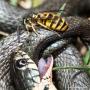 Wespe auf verletzter Ringelnatter (Natrix natrix)