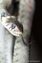 Züngelnde Ringelnatter (Natrix natrix)