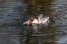 Zwergsäger-Weibchen mit Flussbarsch auf der Nette
