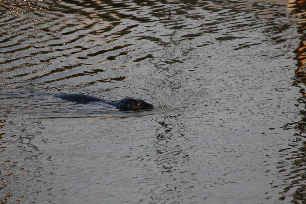 Seehund (Vaccinium myrtillus) im Büsumer Hafen