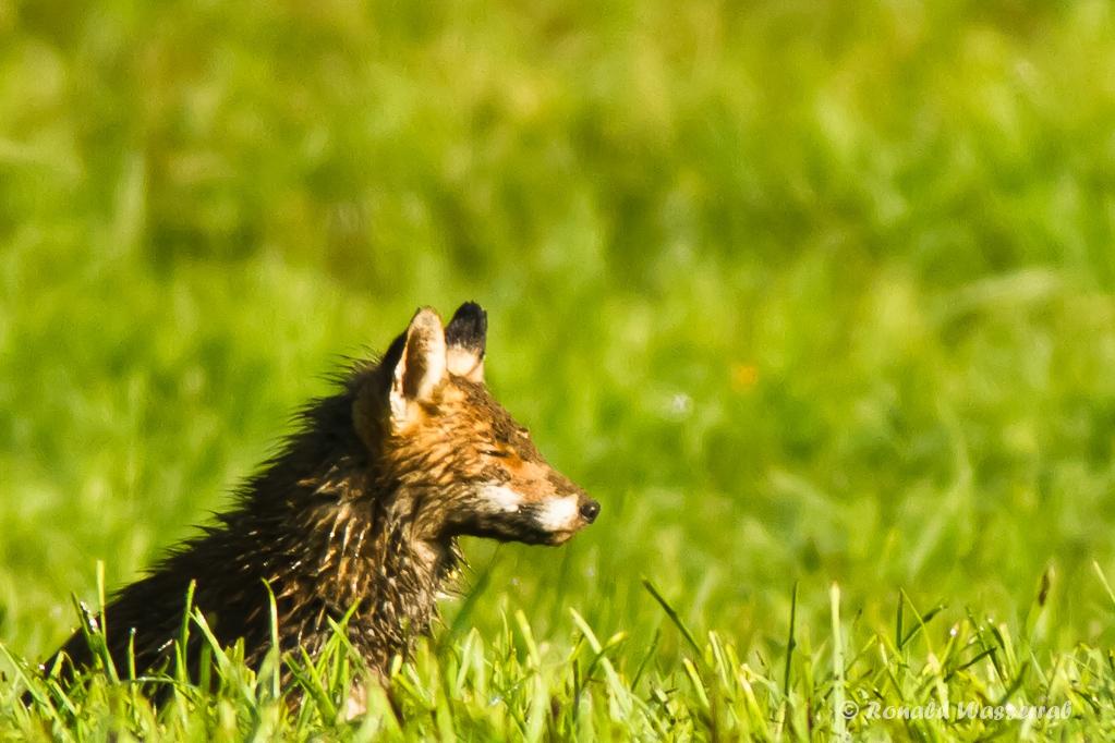 Chillender Fuchs (Vulpes vulpes)