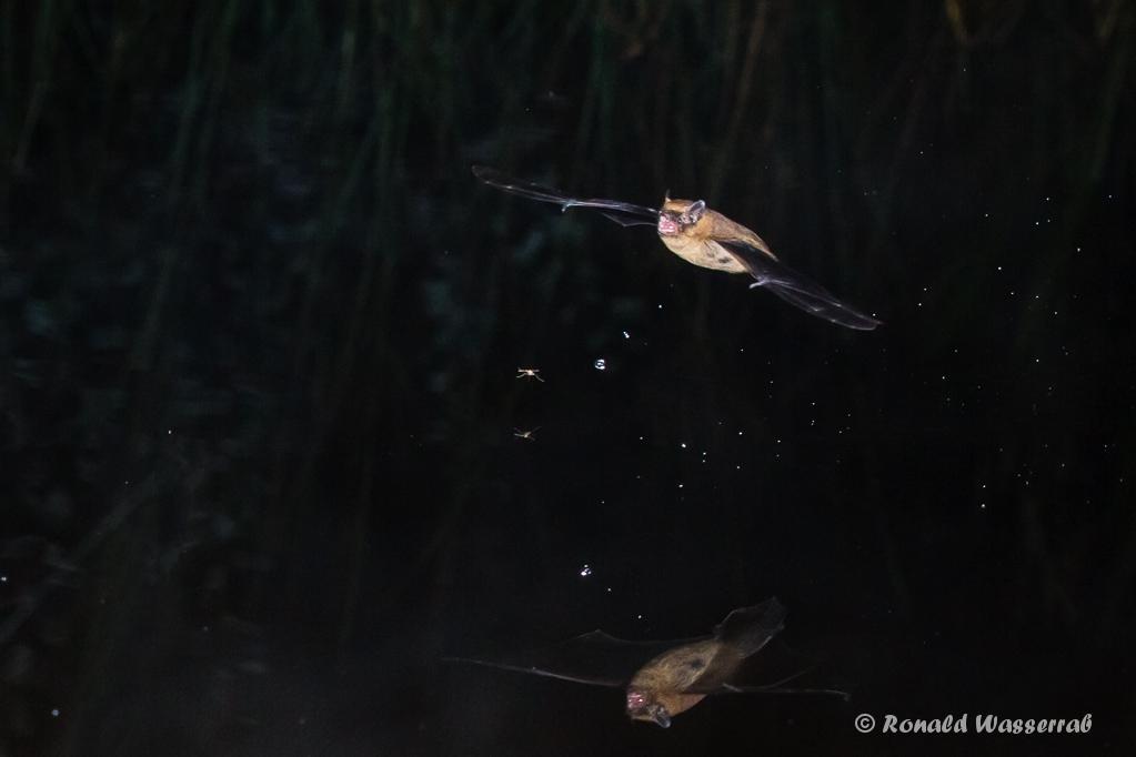 Fledermaus (Microchiroptera) bei der Jagd