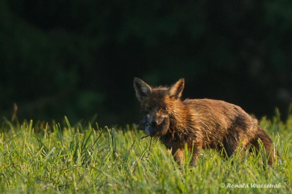 Fuchs (Vulpes vulpes) mit Beute