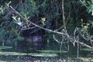 Bisam (Ondatra zibethicus) an der Aach bei Moos