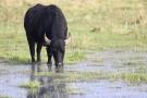 Wasserbüffel im Katinger Watt