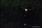Fledermaus (Microchiroptera)